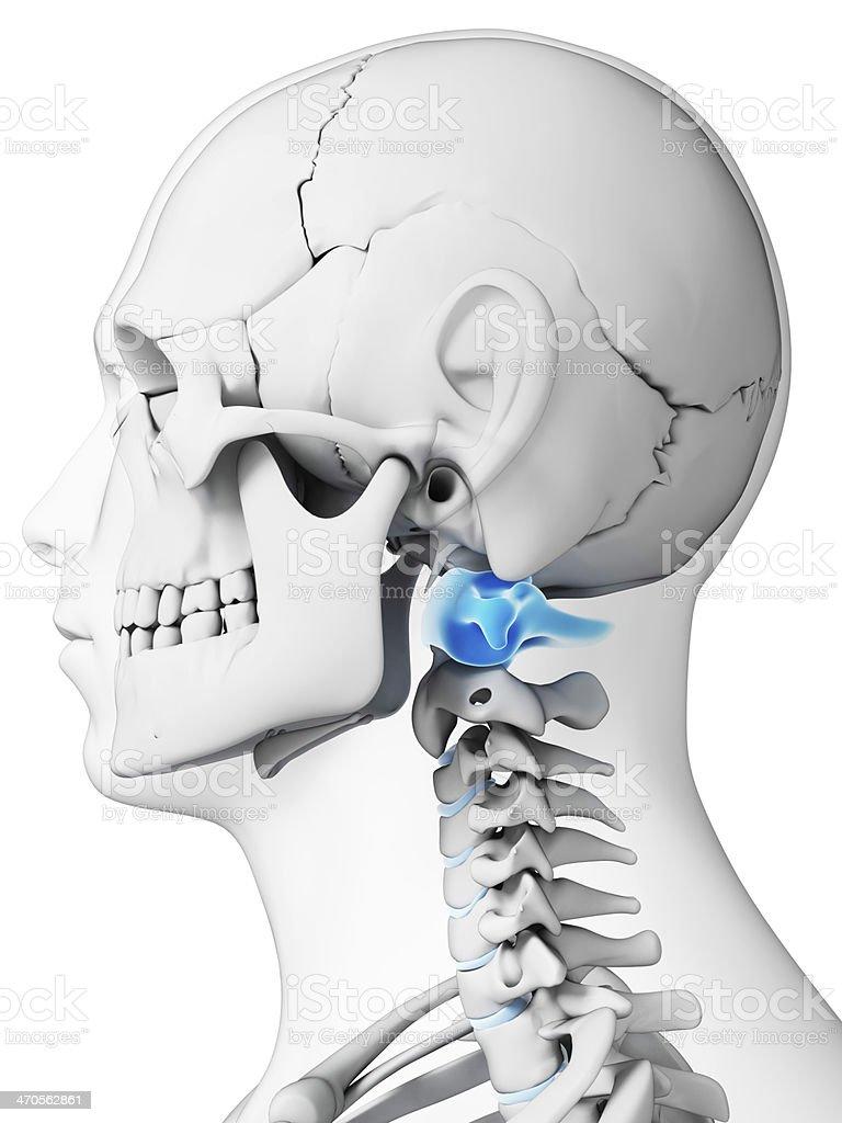 atlas vertebrae stock photo