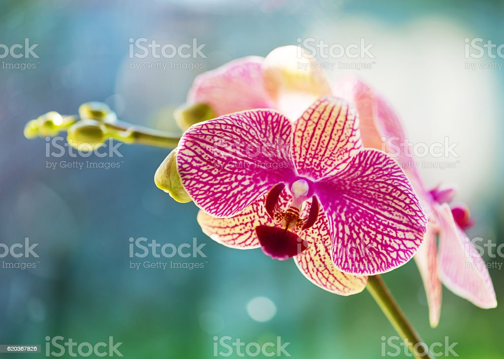 Atmospheric colorful pink orchid foto de stock royalty-free