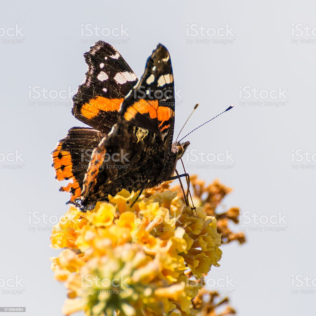 Atop The Butterfly Bush stock photo