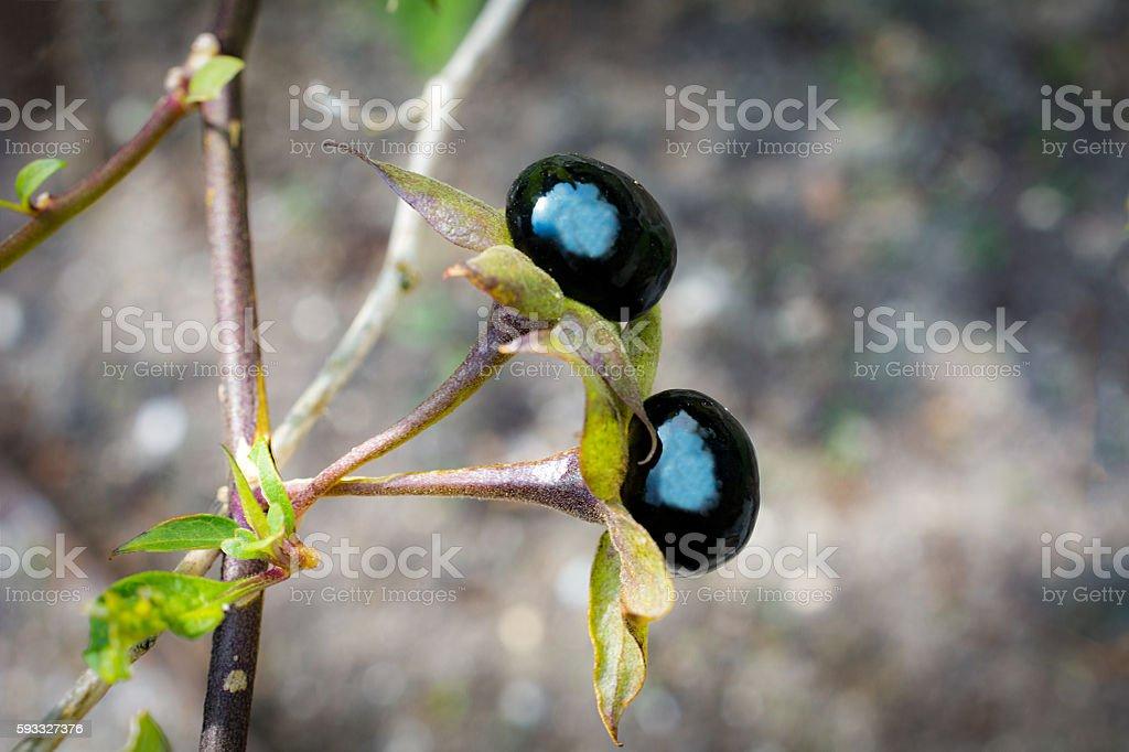 Atropa belladonna stock photo