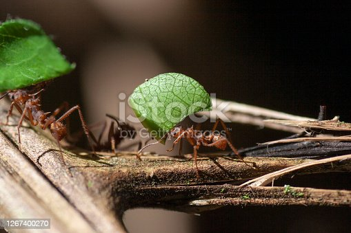 Atta ant carrying a leaf, Pura Vida!