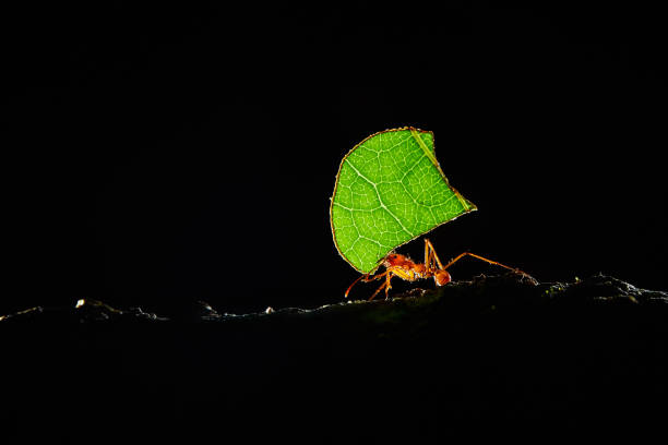 Atta ants, Leafcutter Ants, Costa Rica, macro of a red leafcutter ant stock photo