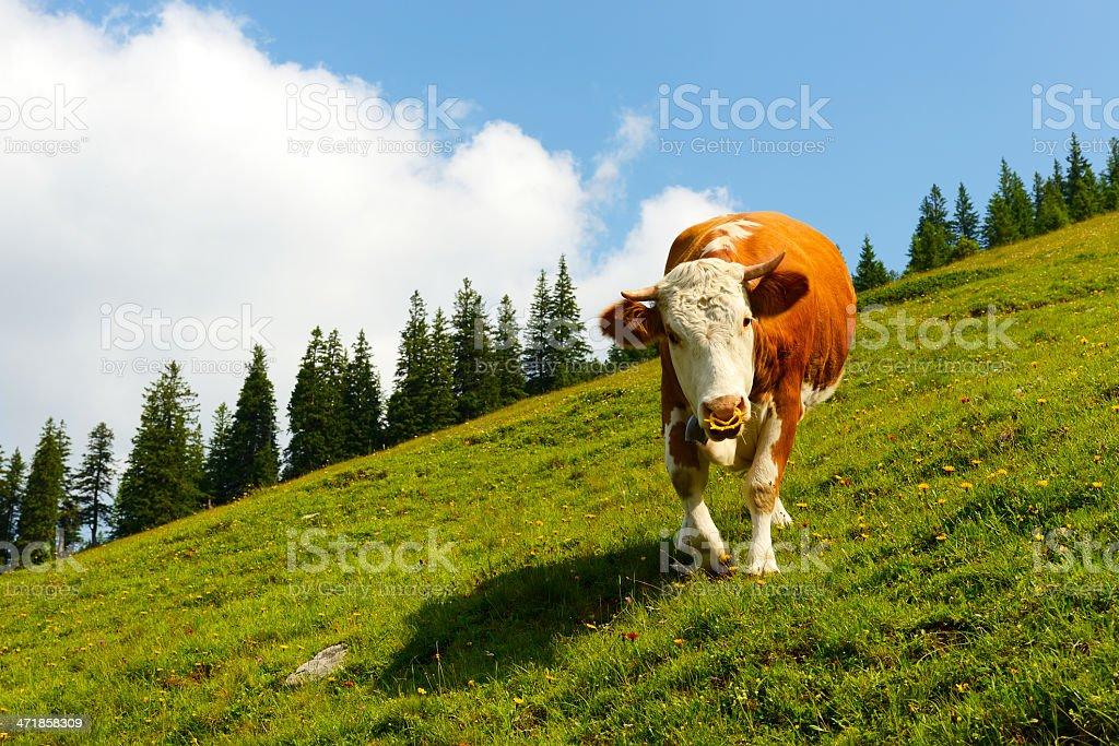 attacking bull royalty-free stock photo