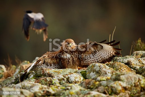 Hunting Common buzzard (Buteo buteo). Action scene from the Rhodope Mountains, Bulgaria. Wildlife animal.