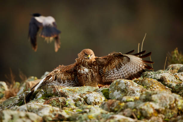 Attacking Common buzzard (Buteo buteo). Action scene from the Rhodope Mountains, Bulgaria. Wildlife anima stock photo