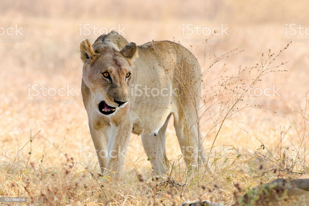 Attacking Lioness of Mikumi stock photo
