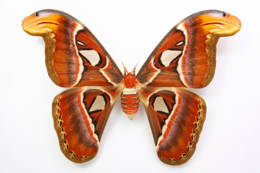 istock Attacus atlas....Beautiful butterfly 170617994