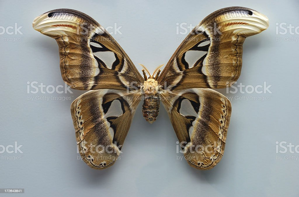 attacus atlas butterfly royalty-free stock photo