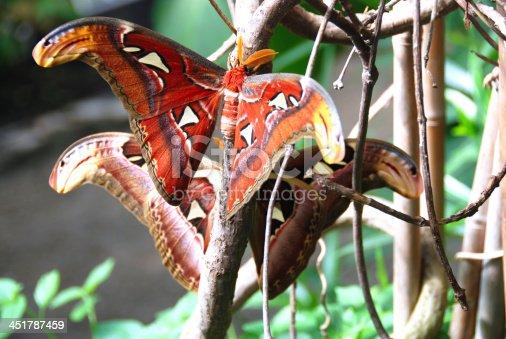 istock Attacus atlas moth 451787459