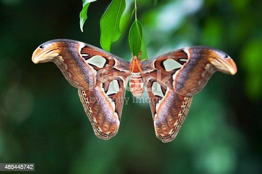 istock Attacus Atlas moth 485445742