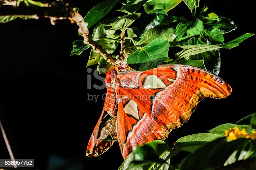istock Attacus atlas Moth the giant butterfly 636957752