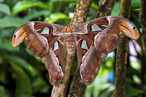 istock Attacus Atlas moths are one of the largest lepidopterans in the world 1131332007
