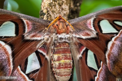 istock Attacus Atlas moths are one of the largest lepidopterans in the world 1142815495