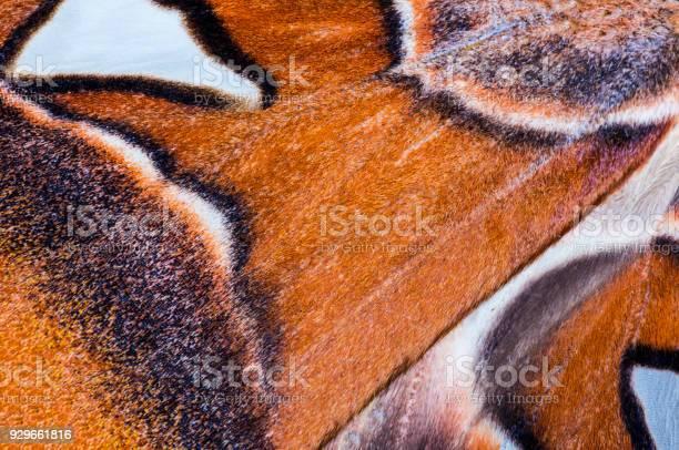 Attacus atlas wing background picture id929661816?b=1&k=6&m=929661816&s=612x612&h=ijofo3yzikub7tmbmw8xbrkiayn5btfvep5ue5aogmi=