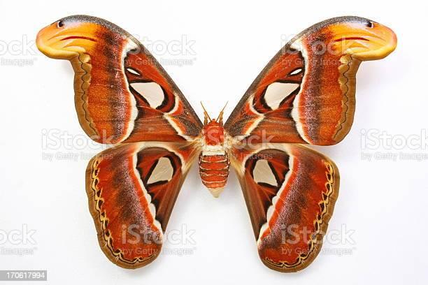Attacus atlasbeautiful butterfly picture id170617994?b=1&k=6&m=170617994&s=612x612&h=gkmoini dvq3xdz rnsvljzfxjocdhzugayzscohuou=