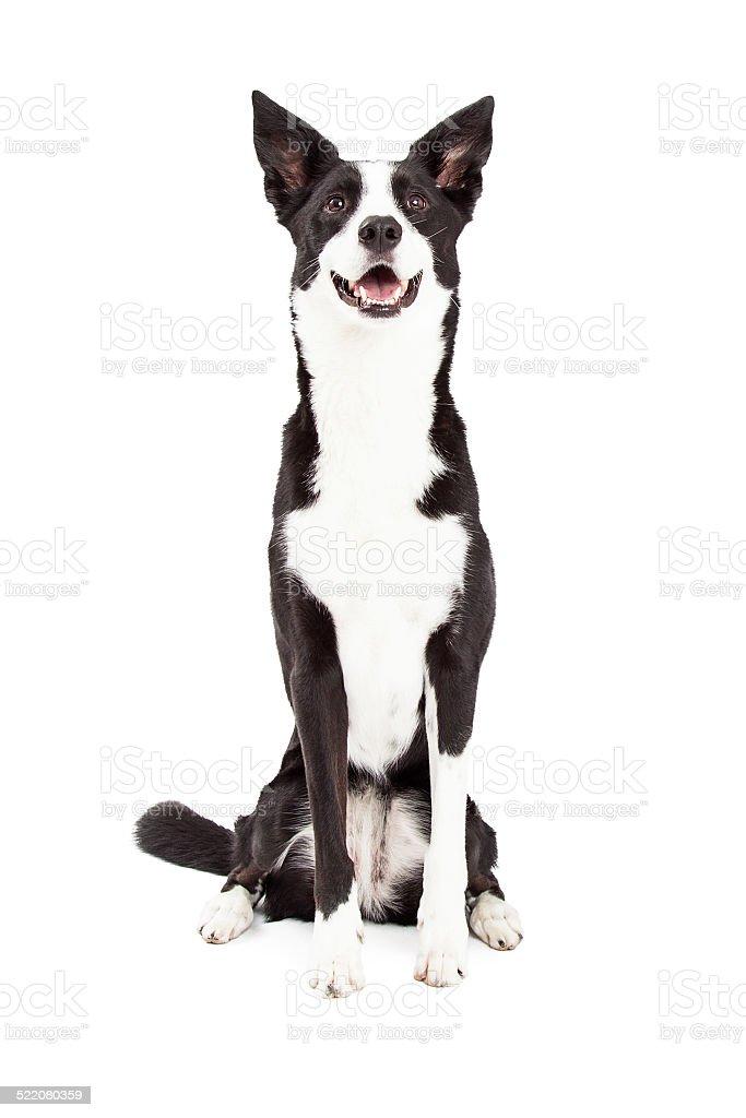 Atento de perros Border Collie mezclar raza de estar - foto de stock