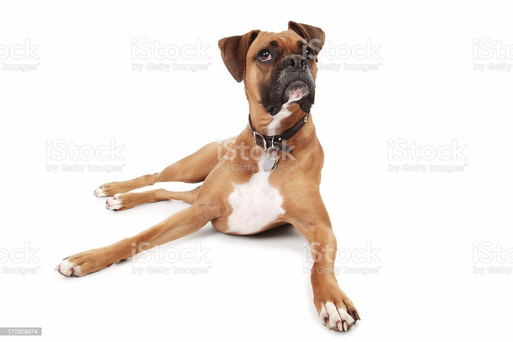 Attentive Boxer stock photo