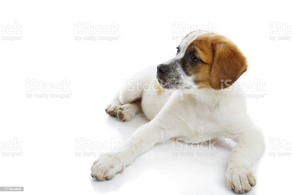 Attentive doggy royalty-free stock photo