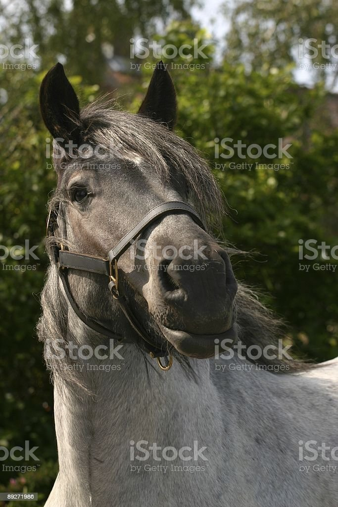 Attentive draught horse royalty-free stock photo