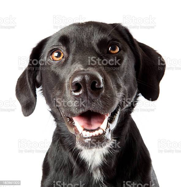 Attentive happy black dog looking intently at treat off camera picture id182861320?b=1&k=6&m=182861320&s=612x612&h=w3jhng kxi9jcku5gnu1hjmo vgan clsvs7az74vzq=