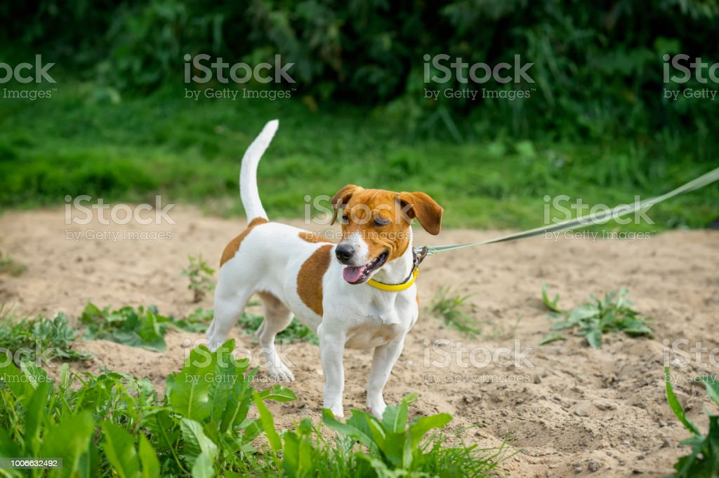 Attentive Jack Russell Terrier on a leash on the beach in summer,...