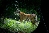 Malayan tigers are considerer critically endangered by the IUCN