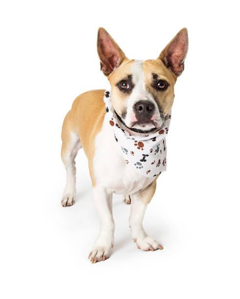Attentive mixed small breed dog wearing bandana picture id989599226?b=1&k=6&m=989599226&s=612x612&w=0&h=adrsk nkf1fr3yp8xw 7ibw2h8wvagmyh3u1qzzyzz4=