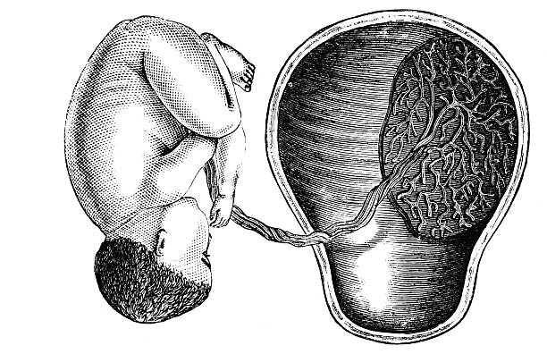 attitude of fetus in utero, and insertion of the placenta - placenta stock photos and pictures
