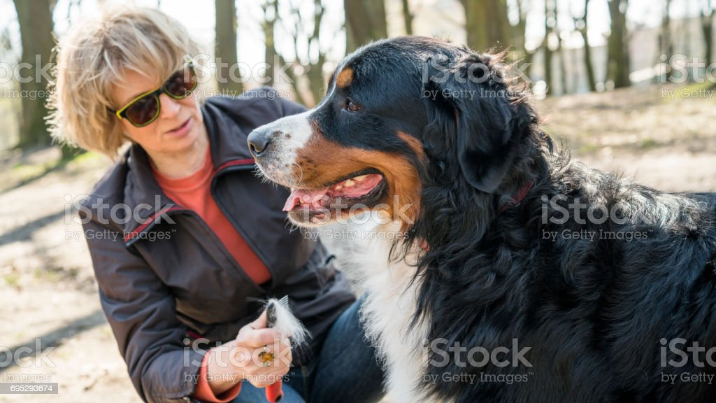 Attractive Mature 50yearsold Woman Brushing The Bernese