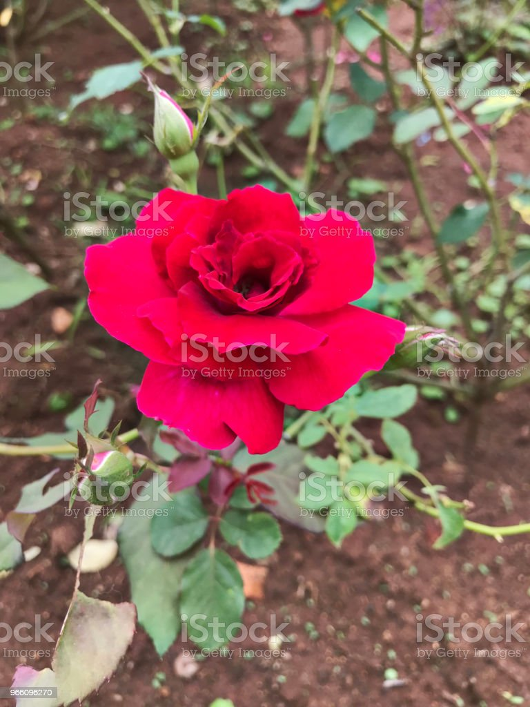 Attractive red rose. - Royalty-free Amor Foto de stock