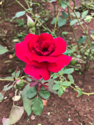 Attractive Red Rose - Fotografias de stock e mais imagens de Amor