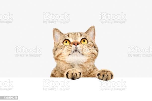 Attractive scottish straight cat peeking from behind a banner picture id1139896046?b=1&k=6&m=1139896046&s=612x612&h=fd0vwafljetzipn1x doadoqkbbu300rzmzpvlipb0m=