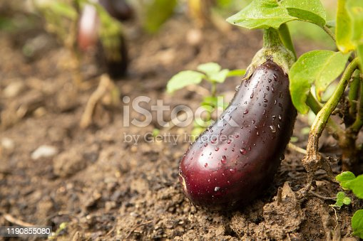 Close-up of ripe aubergine in farm.