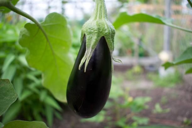 Aubergine plant in de kas stock photo