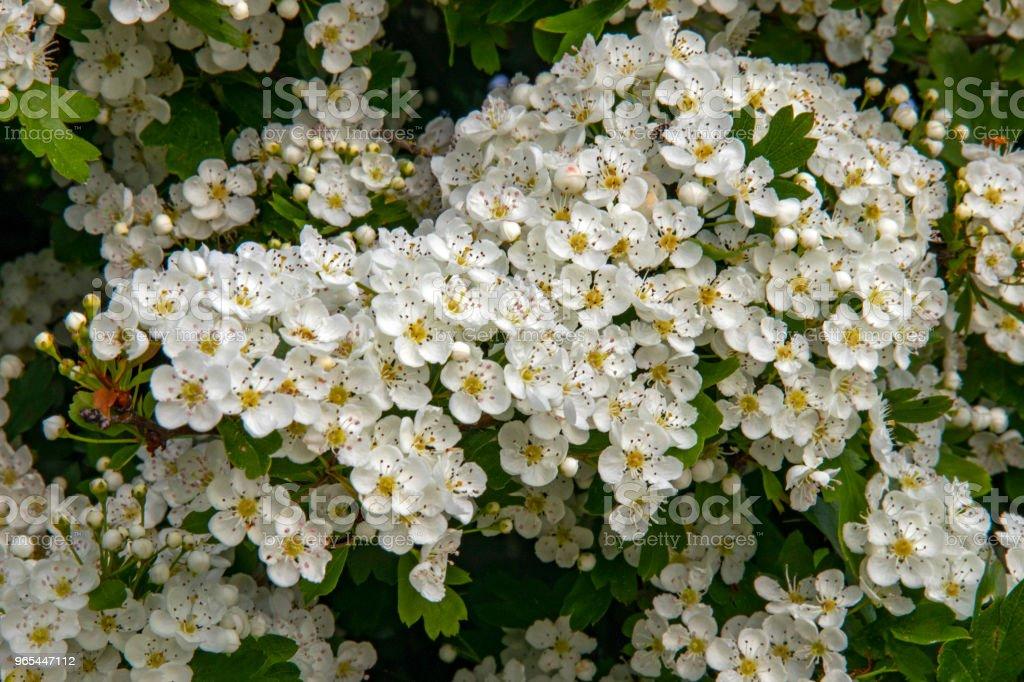 Aubépine en fleurs, Crataegus zbiór zdjęć royalty-free