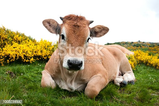 Aubrac cow in Mont Lozere - Cevennes National Park, France