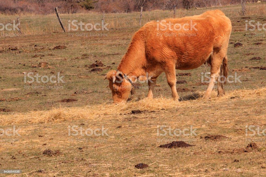 Aubrac (race bovine) stock photo