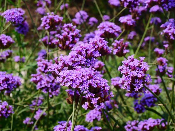 aubrieta deltoidea flowers - blütenstand stock-fotos und bilder