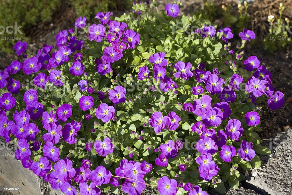 Aubrieta royalty-free stock photo
