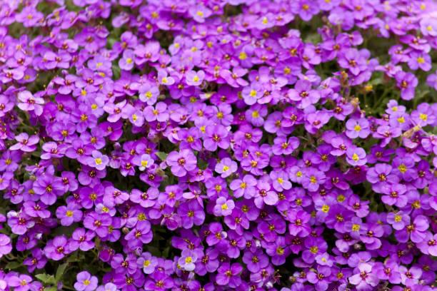 Aubrieta plant with purple small blossom grow in stone garden stock photo