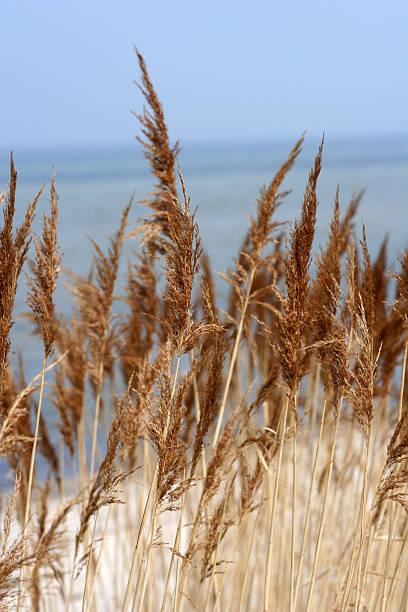 Auburn Grass at the Beach. stock photo