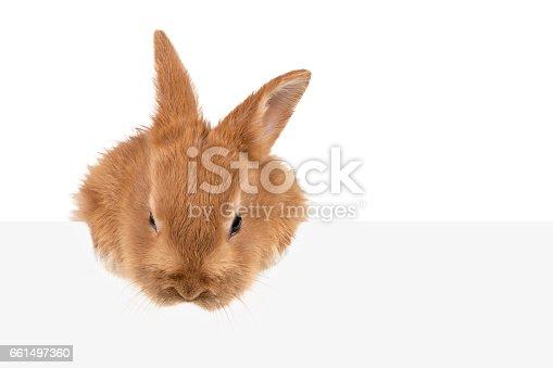 istock Auburn rabbit peeking out of board 661497360