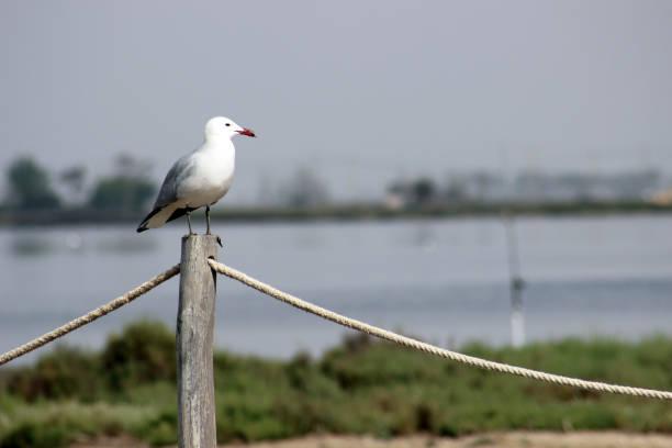 Audouin's Gull, Ichthyaetus audouinii perched on a rope barrier in Punta de la Banya in the Ebro Delta near Sant Carles de la Rapita, Catalonia, Spain stock photo