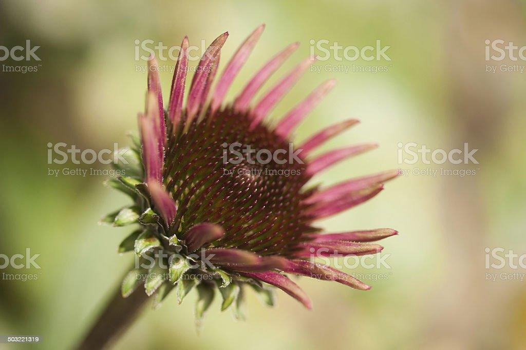 Aufblühende Echinacea stock photo
