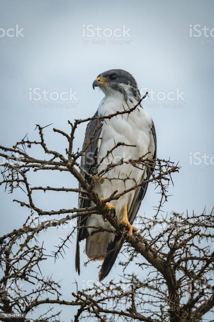Augur buzzard in thorny tree looks left stock photo