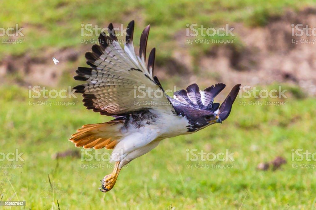 Augur buzzard. Ngorongoro Crater Conservation Area. Tanzania. stock photo