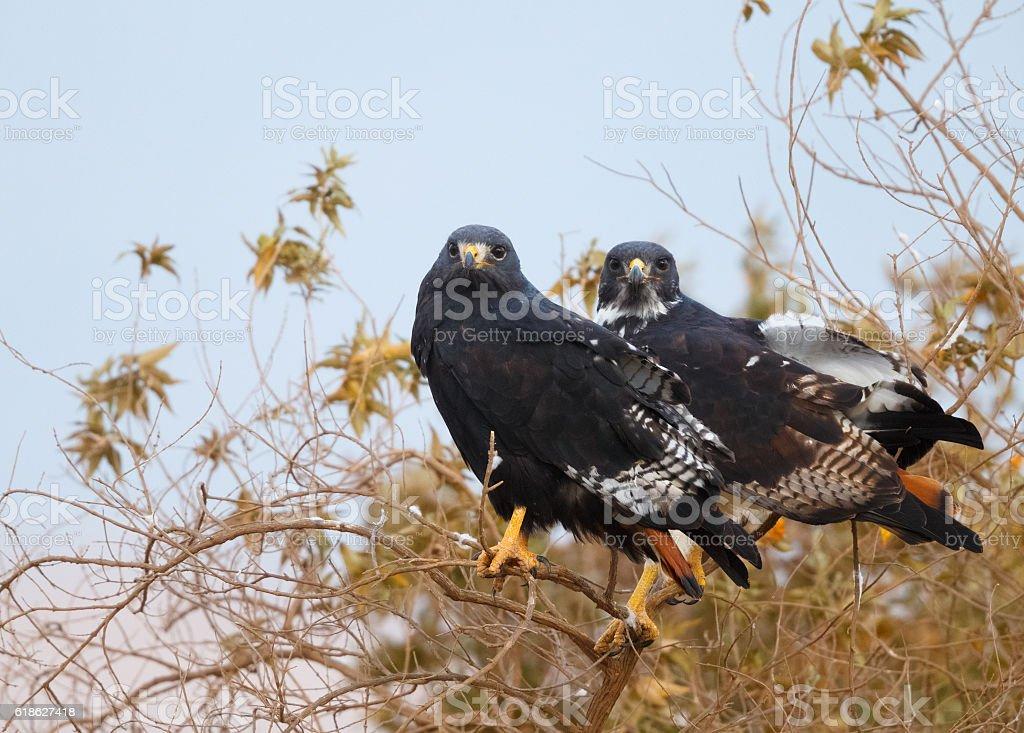 Augur Buzzard Pair in Tanzania Africa stock photo