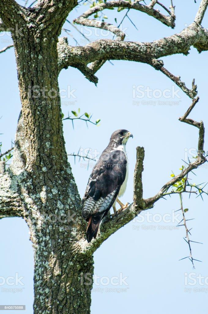 Augur buzzard stock photo