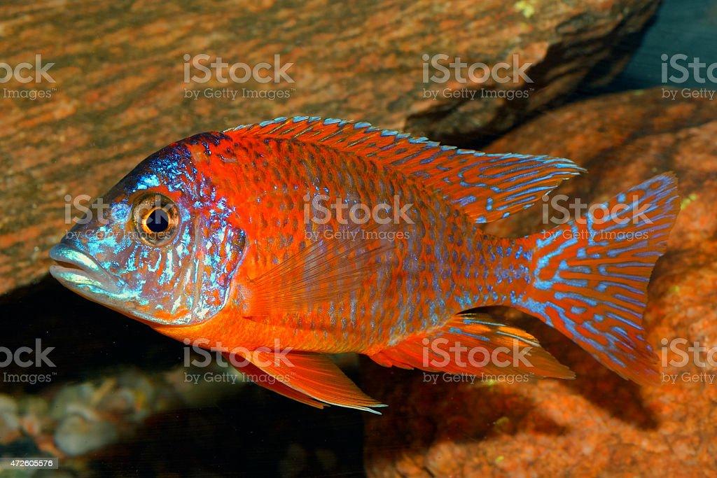 Aulonocara fish stock photo