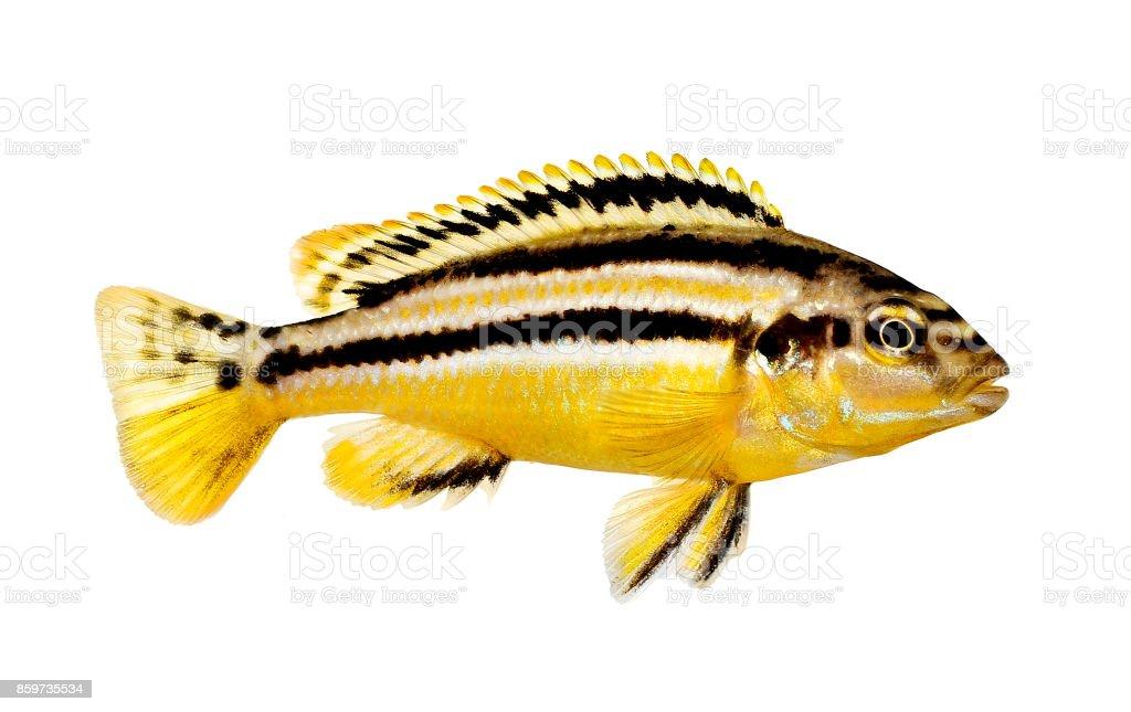 Auratus cichlid Melanochromis auratus golden mbuna aquarium fish isolated stock photo